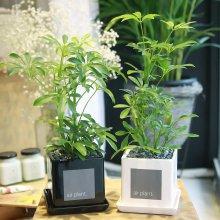 모던 화분 홍콩야자 공기정화식물 화이트