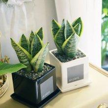 모던 화분 산세베리아 공기정화식물 화이트