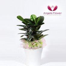 고무나무 일반형 관엽식물 공기정화 꽃배달