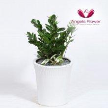 금전수 일반형 관엽식물 공기정화 꽃배달