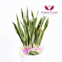 산세베리아 대형 관엽식물 공기정화꽃배달
