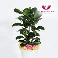 고무나무 대형 관엽식물 공기정화 꽃배달