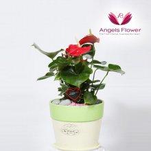 안시리움 일반형 관엽식물 공기정화 꽃배달