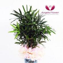 관음죽 대형 관엽식물 공기정화 꽃배달