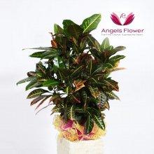 클로톤 대형 관엽식물 공기정화 꽃배달