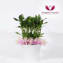 황금죽 일반형 관엽식물 공기정화 꽃배달