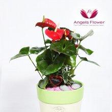 안시리움 대형 관엽식물 공기정화 꽃배달