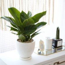 테라조 화분 콩고 중형 공기정화식물 화이트